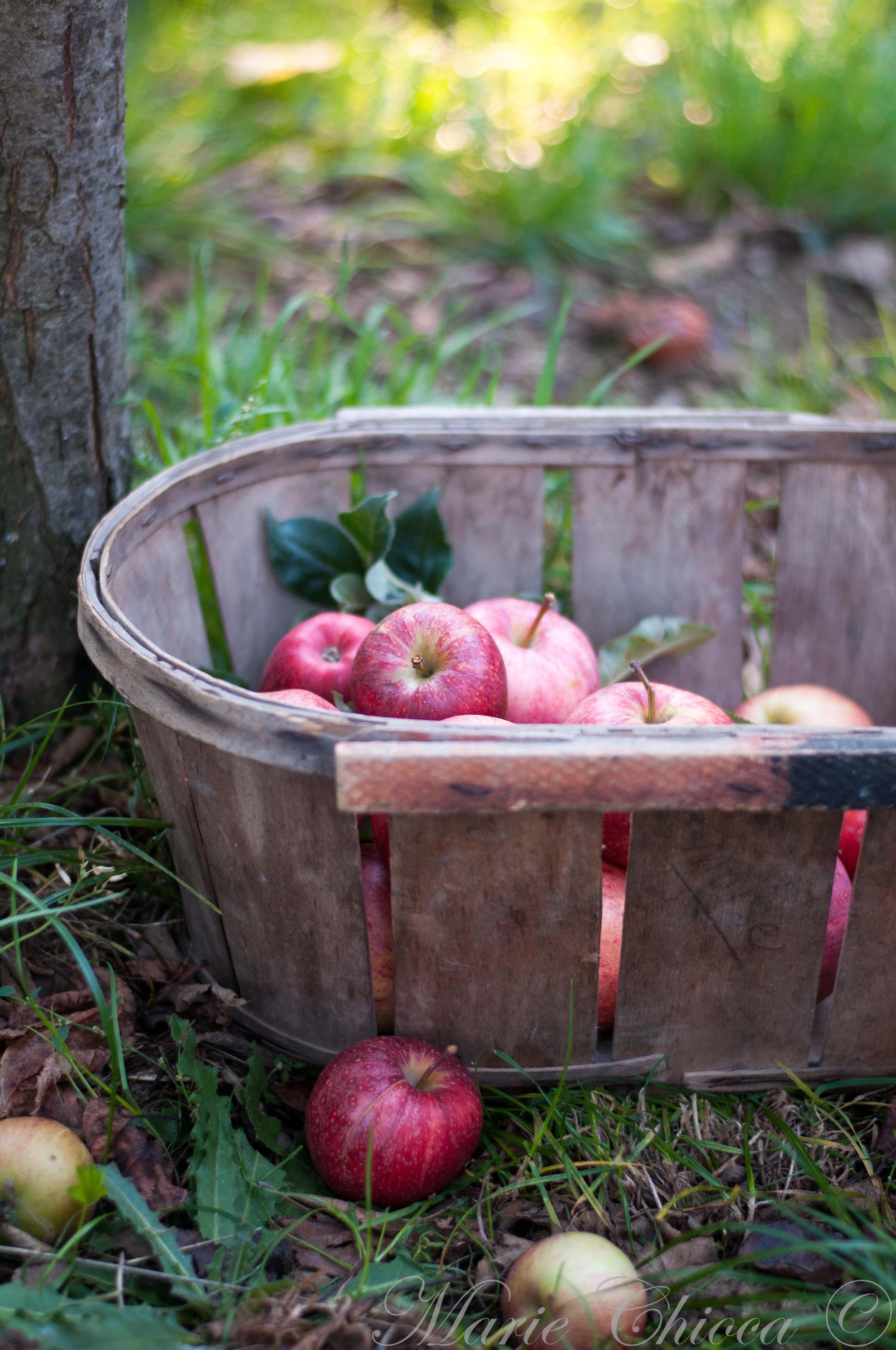 Les-pommes-de-mon-verger
