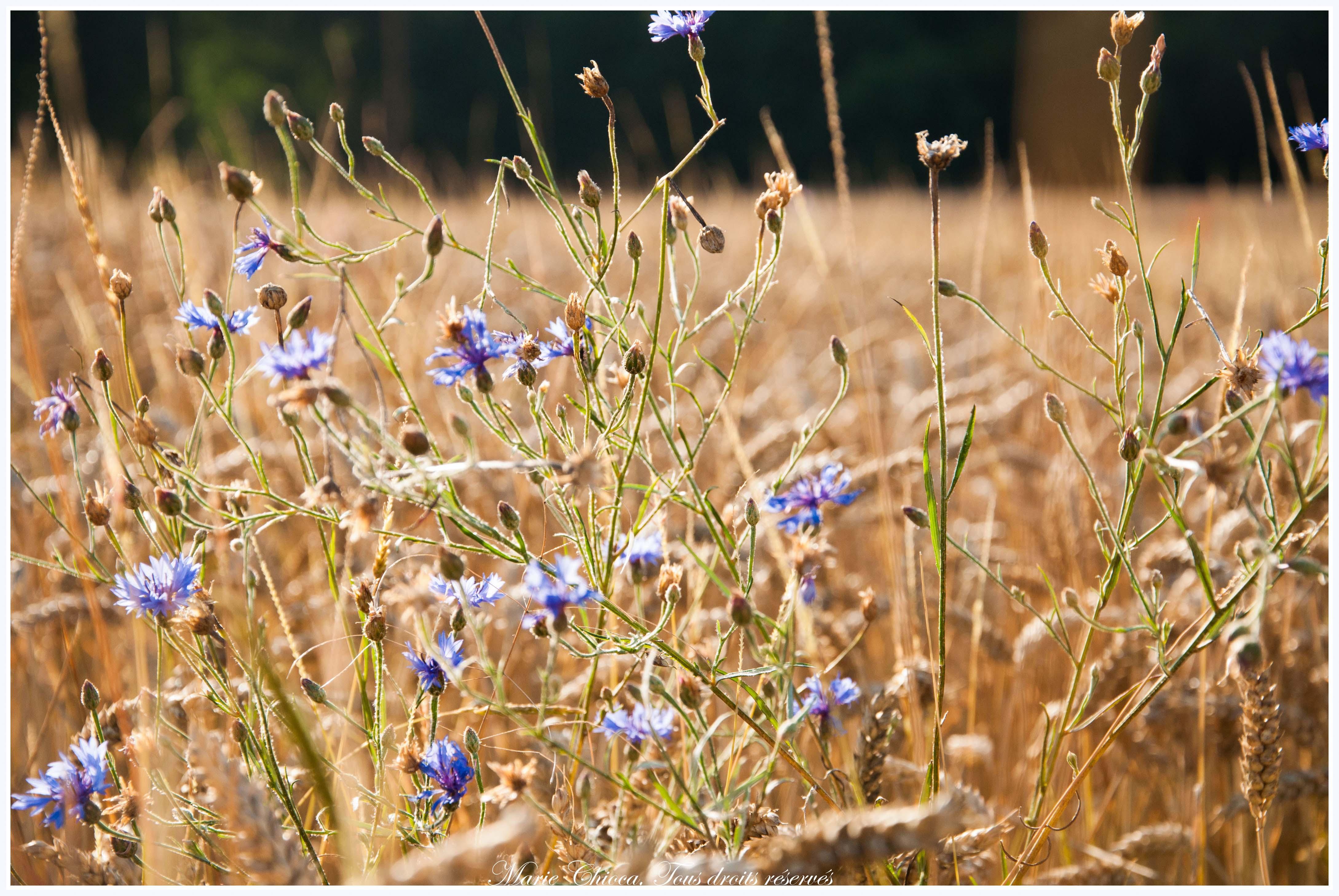 Illustration présentation (champ de blé bio et bleuets)-2