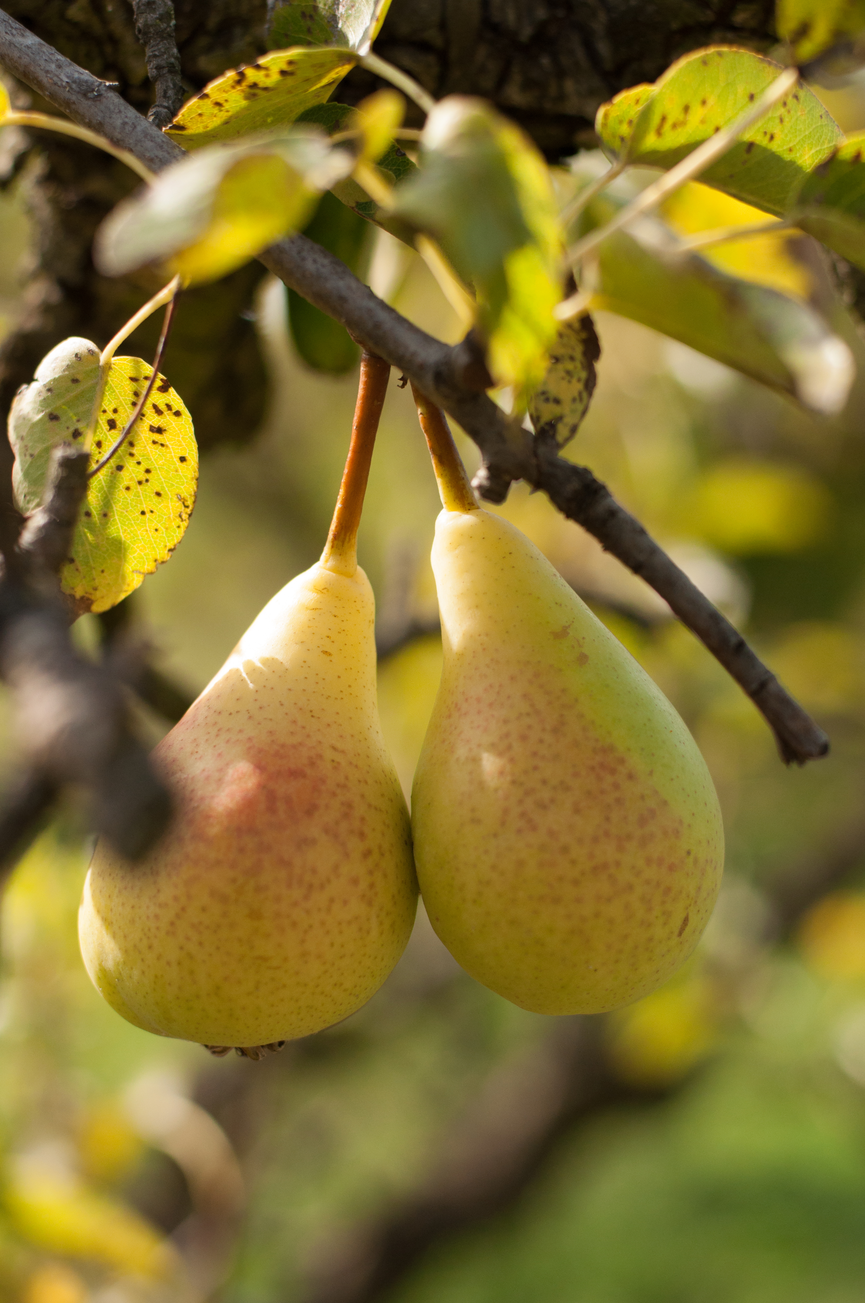 confit de poire au miel et aux noix 1 (poires)