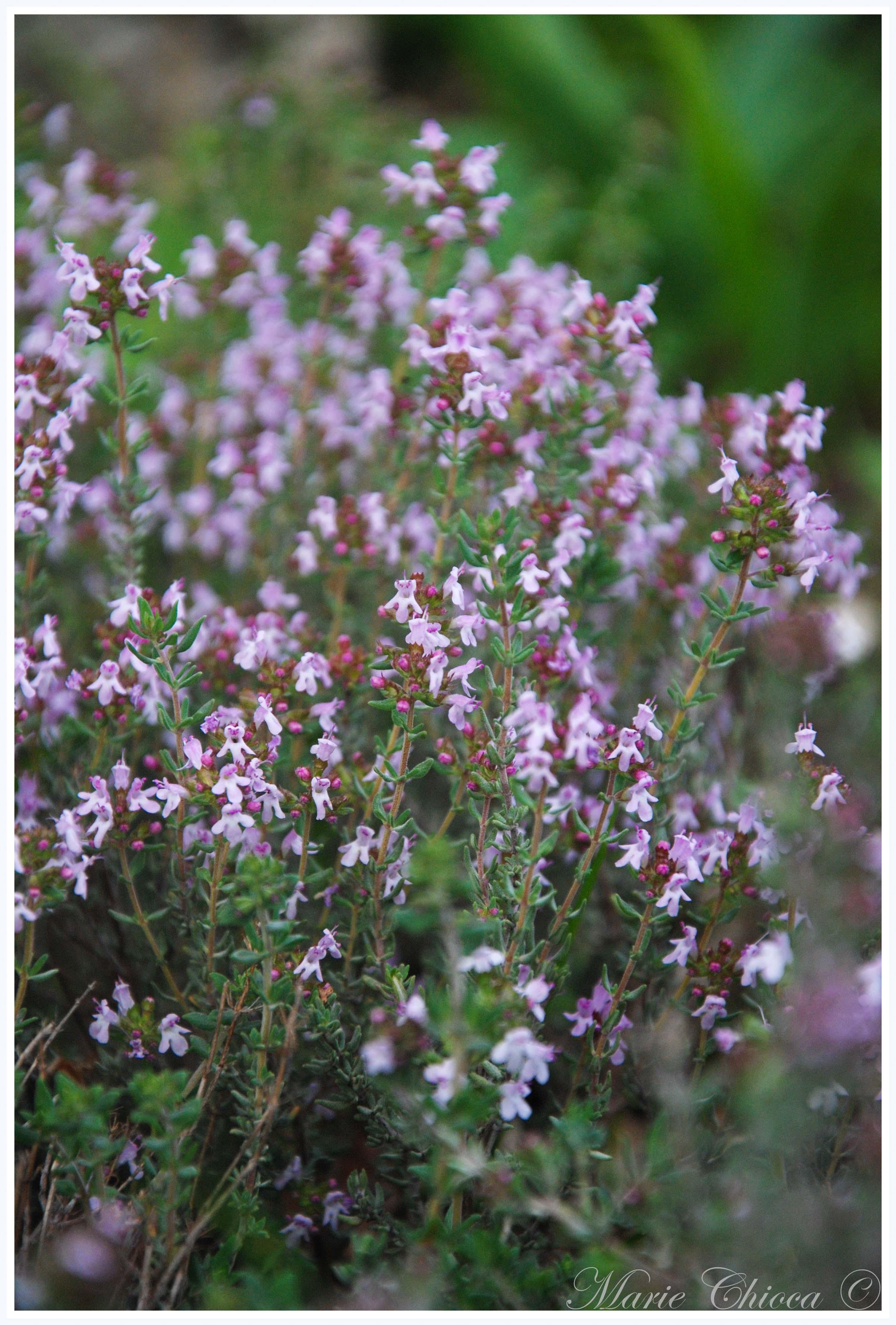 thym-en-fleurs-2