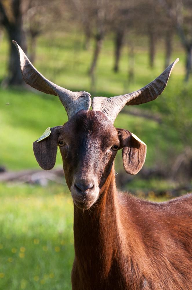Une chèvre du Rove...